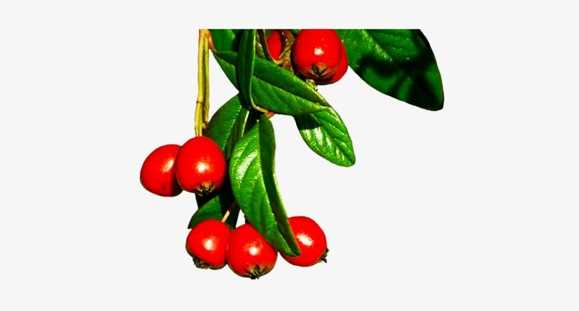 Red Winter Berries - Winter Berries Tree Png, transparent png #3784353