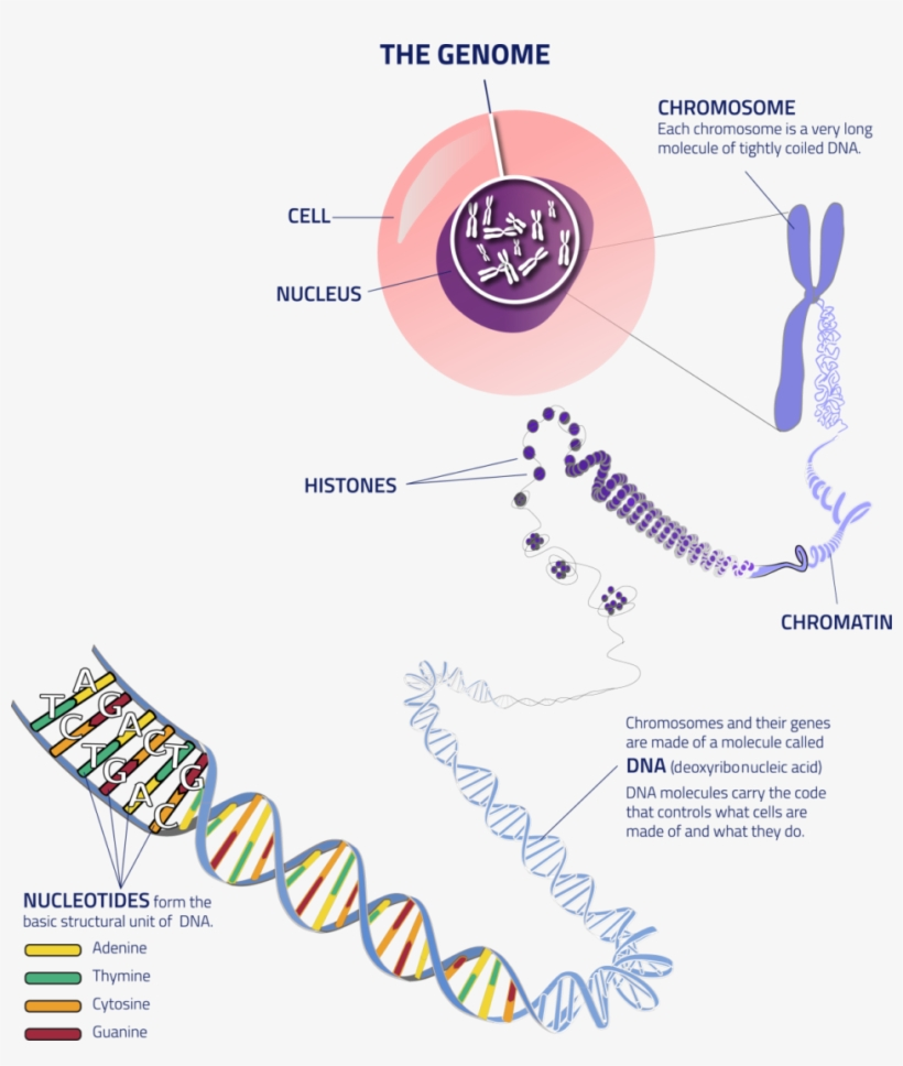 Thegenome Cell To Dna - Many Chromosomes Do Humans Have, transparent png #3815653