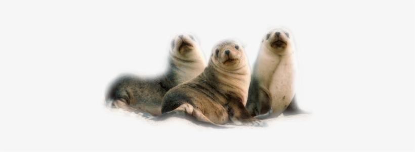 Publicat De Eu Ciresica La - Seals And Sea Lions Of The World [book], transparent png #3846065