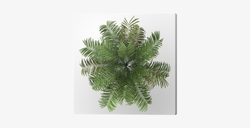 Top View Of Areca Palm Tree Isolated On White Background - Palm Tree Top View Png, transparent png #3866647