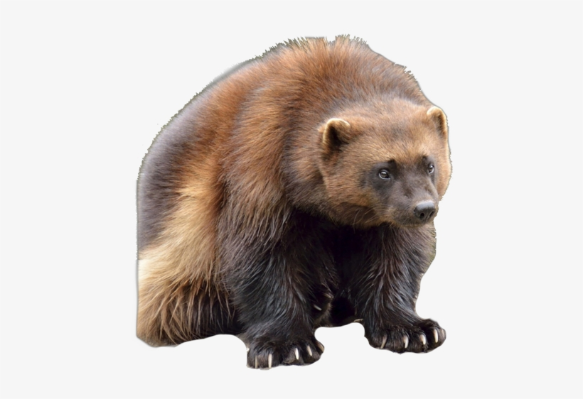 Wolverine Clipart Animal Face - Wolverine Canadian Animals, transparent png #3882222