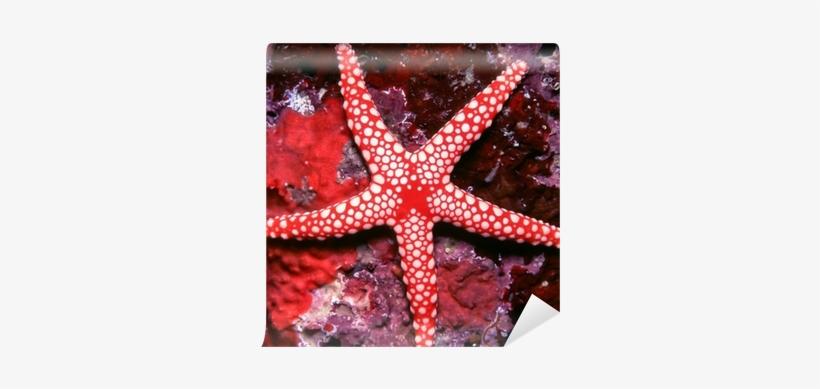 Beautiful Red And White Starfish Wall Mural • Pixers® - Estrellas De Mar Tienen Ojos, transparent png #3906748