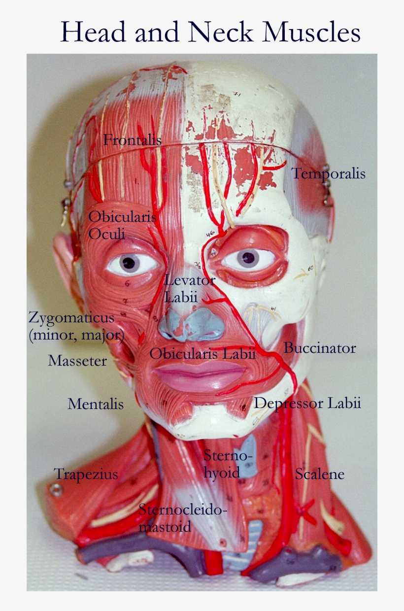 Arm Model Head And Neck Muscles Model Free Transparent Png
