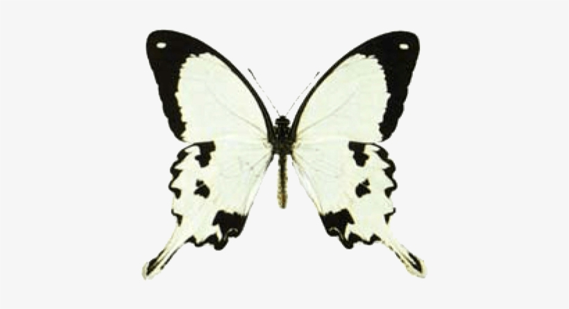 a124d9694 Butterfly House At Put In Bay - Mocker Swallowtail, transparent png #3940975