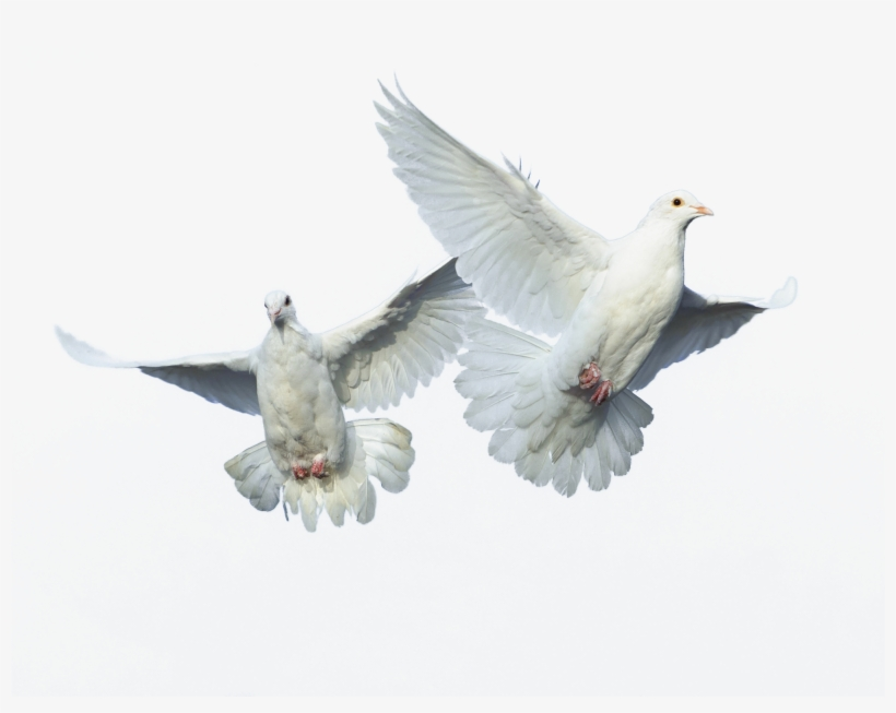 Flying Bird Png Source - Typical Pigeons - Free Transparent