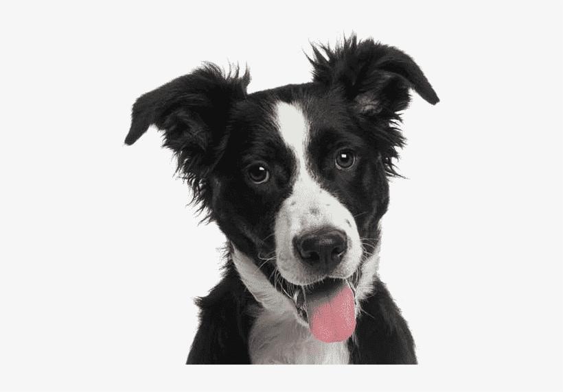 Cat Dog - Border Collie, transparent png #40354