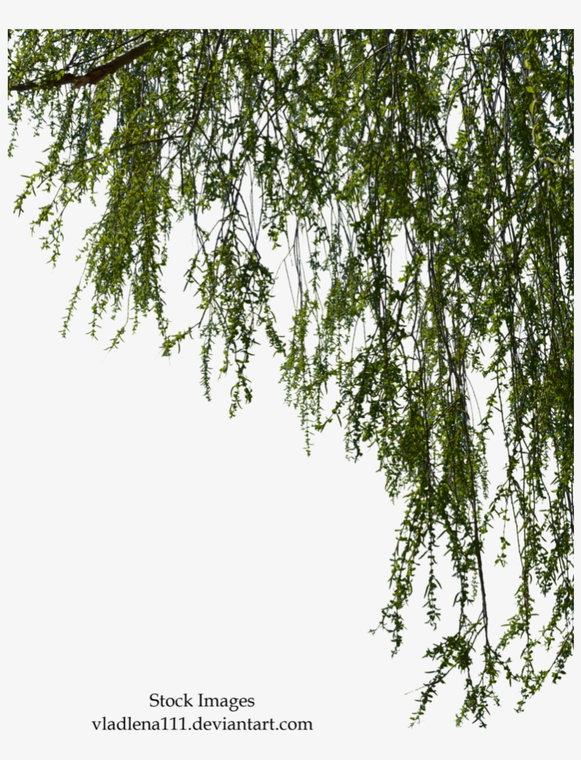 Transparent Images Pluspng Willow Image Free Library - Willow Tree Branch Png, transparent png #44498