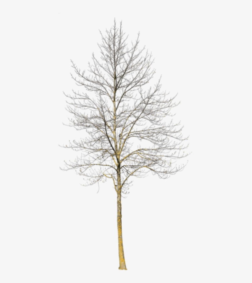 Deciduous Tree Winter Iii - Deciduous Trees In Winter, transparent png #4009375