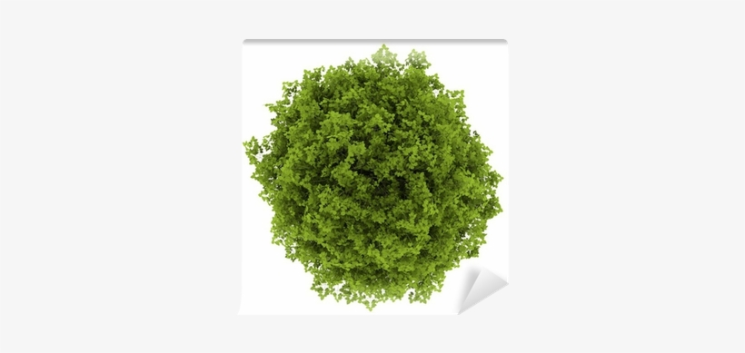 Top View Of Euonymus Verrucosa Bush Isolated On White - Tree Top View, transparent png #4107505