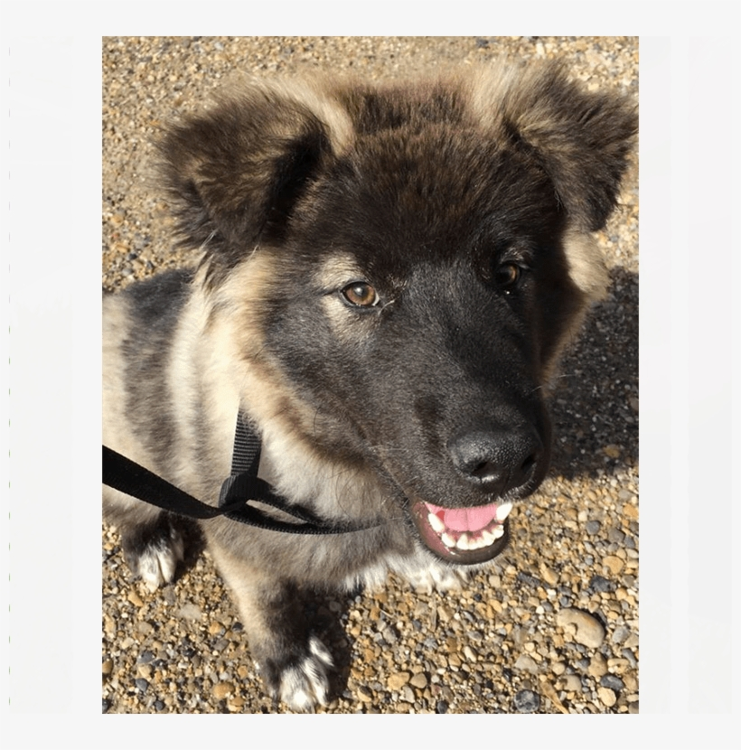 Meet Argo He Is A 4-5 Month Old Large Breed Puppy - Companion Dog, transparent png #4134113