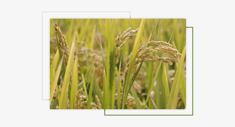 Leading Organic Basmati Rice Exporters In Pakistan - Rice, transparent png #4159765