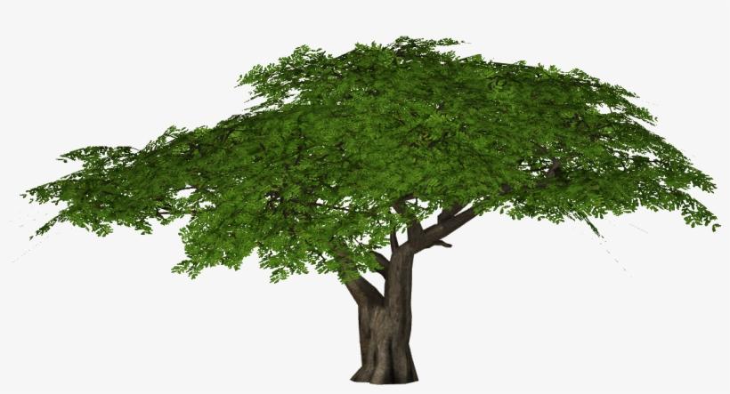 Acacia Tree Png - Umbrella Thorn Acacia Png, transparent png #4179380