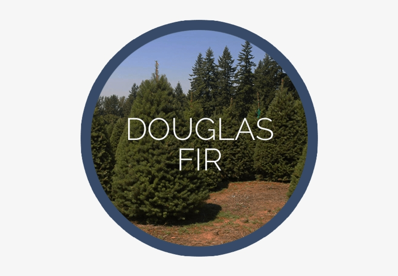 Pioneer Douglas Fir - Douglas Fir Tree Christmas Tree - 100 Seeds, transparent png #4212449