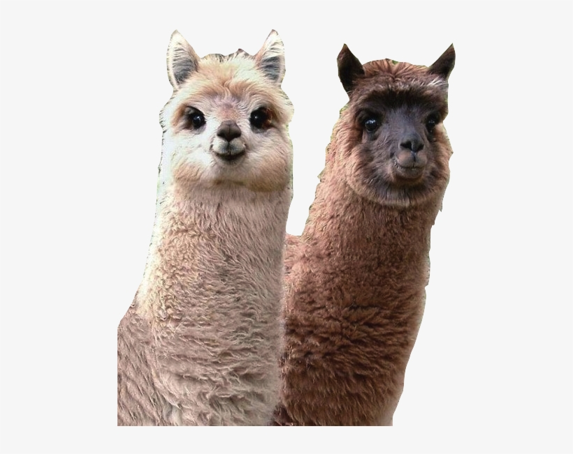 If I Were An Animal, I Would Be A Lama Because My Friends - Cutest Llama In The World, transparent png #4246648