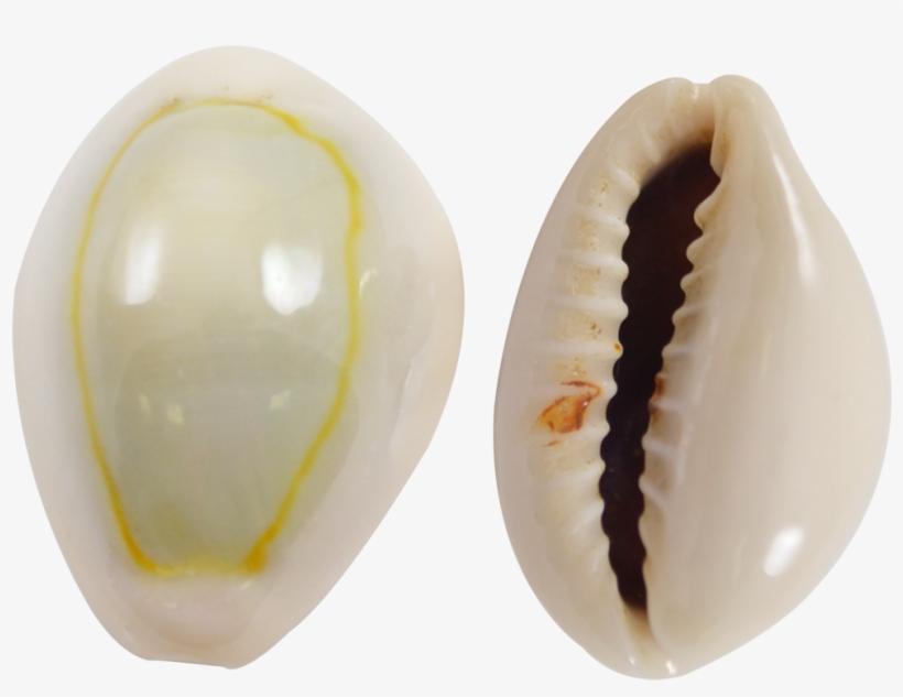 """Ring Top Cowrie Shells - Ring Top Cowrie Shells Seashells .5-.75"""" 1 Kilo, transparent png #430308"""