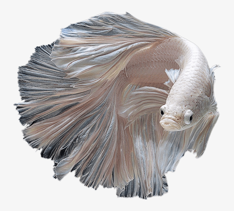 Betta - Albino Siamese Fighting Fish, transparent png #4312940