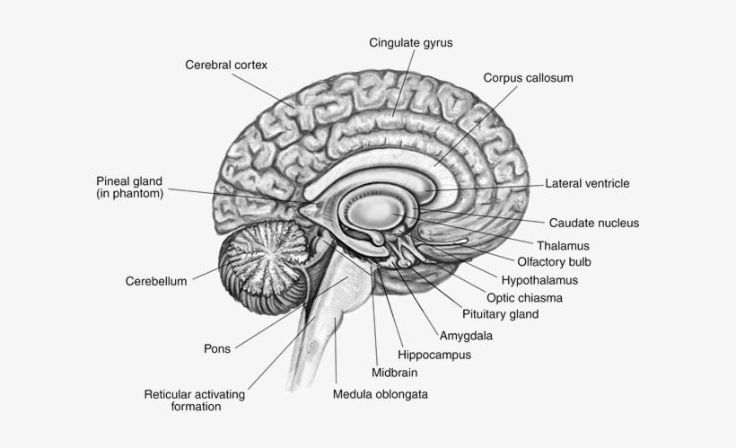brain labeled brain diagram free transparent png. Black Bedroom Furniture Sets. Home Design Ideas