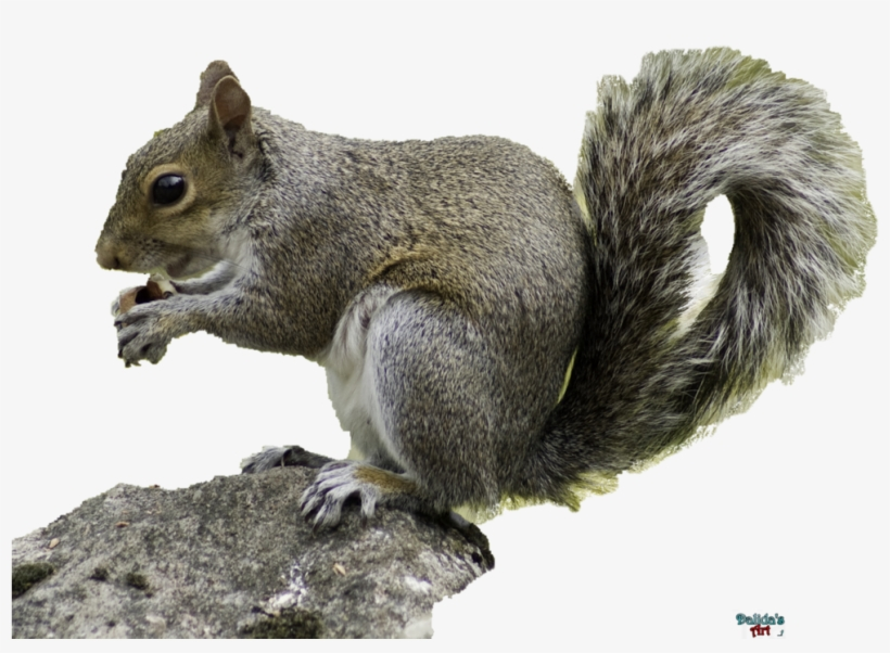 Squirrel - Squirrel Hd With Transparent Background, transparent png #4367281