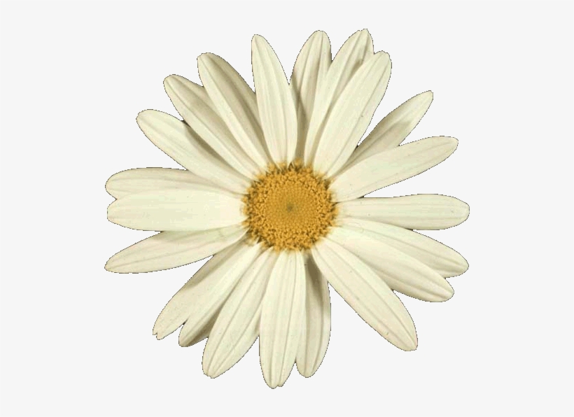 Many Flowers Have Numbers Of Petals That Correspond - Flower Golden Ratio In Nature, transparent png #4442995