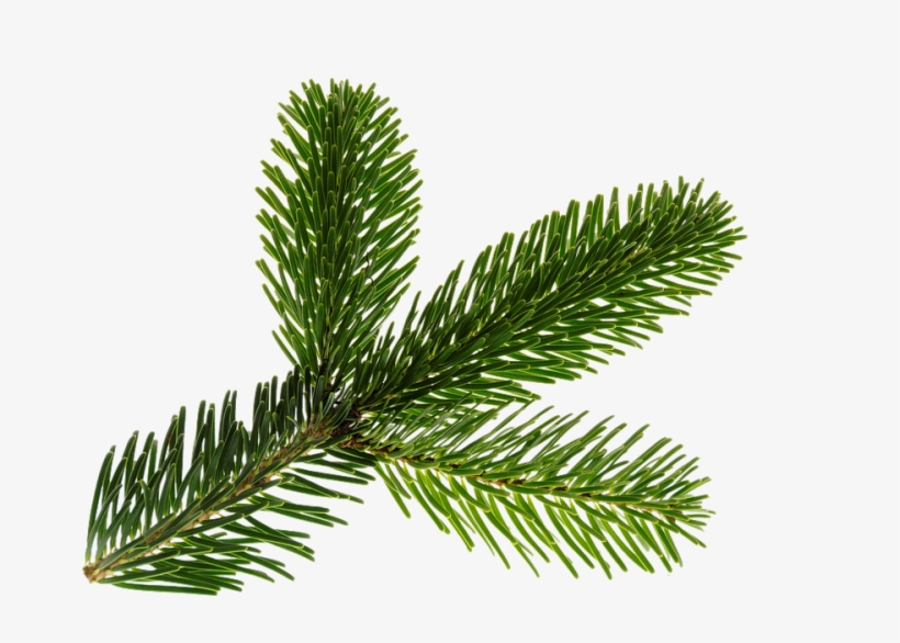 Branch, Nordmann, Green, Isolated, Christmas, Deco - Christmas Tree Branch Psd, transparent png #4461230