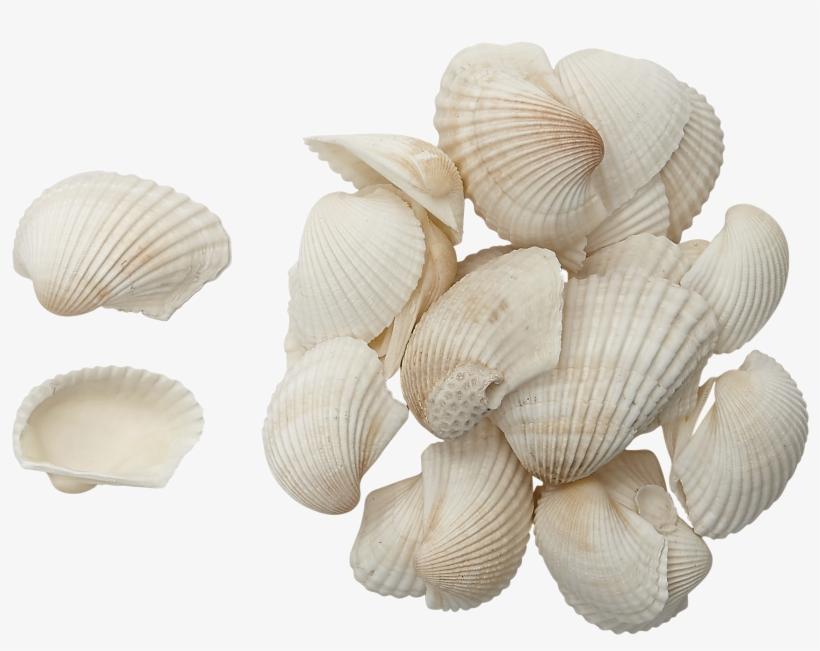 """Caribbean Ark Shells 2-3"""" 1 Gallon, transparent png #4484934"""