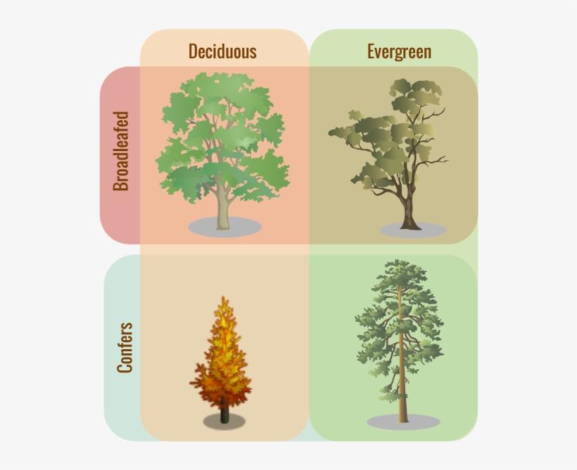 Tree Classifications - Evergreen Trees Vs Deciduous, transparent png #451176