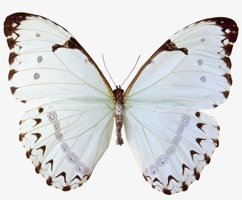 Mariposas Butterfly 15 - Butterfly With White Girl Tattoo, transparent png #4609795