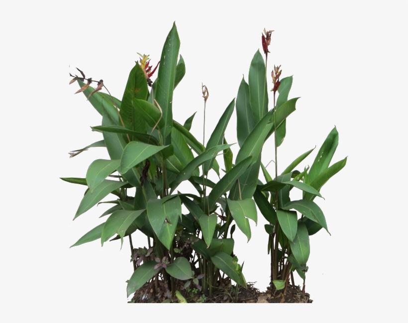 Heliconia Psittacorum - Heliconia Psittacorum Png, transparent png #4729711