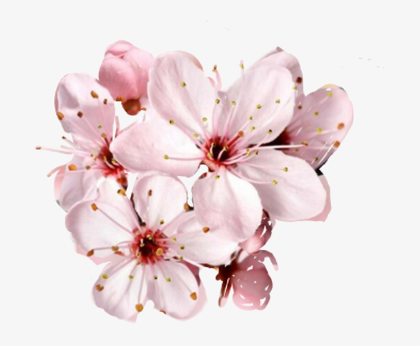 Cherry Blossom Flower Images Free
