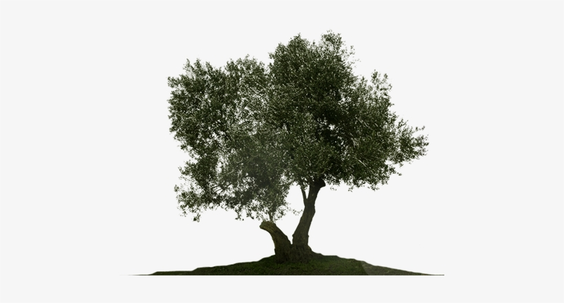 Olive Tree Png - Olive Tree White Background - Free