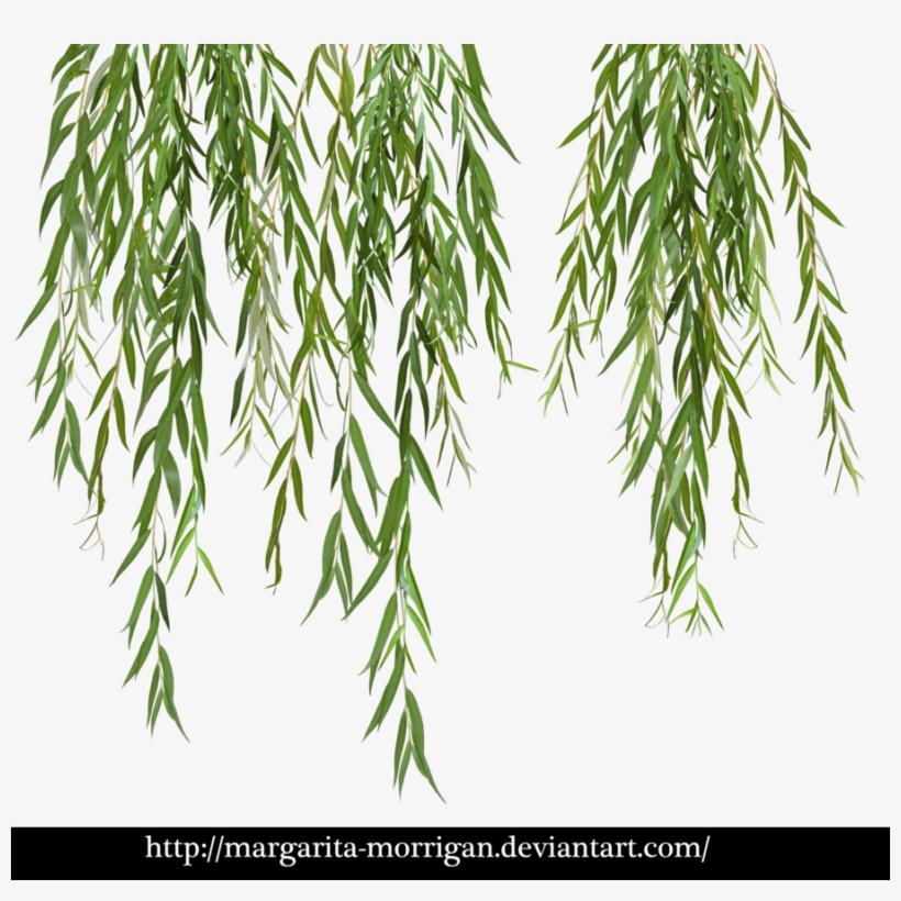 Download Willow Tree Branch Png Clipart Weeping Willow - Willow Png, transparent png #489646