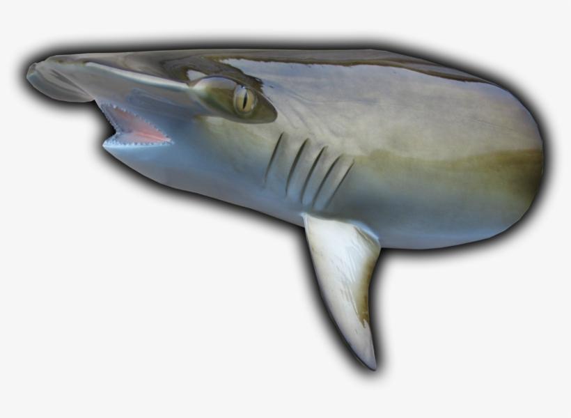 "Hammerhead Shark Head Mount Cut From 85"" Fish Replica - Hammerhead Shark Fish Replicas, transparent png #4827776"