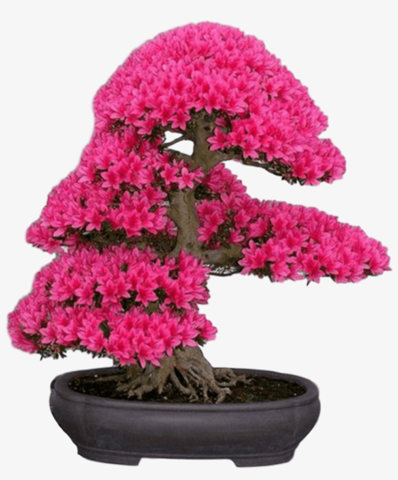 New Japanese Cherry Blossom Seeds A Rare Japanese Variety, - Japanese Sakura Bonsai Flower Tree Seeds, transparent png #4877380