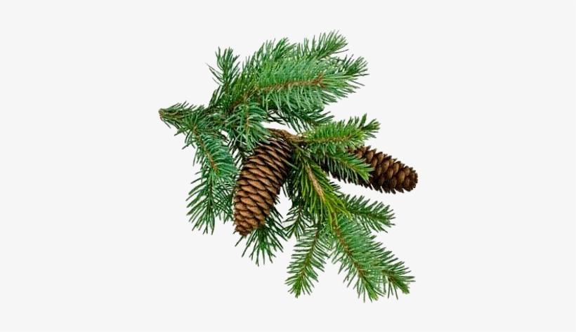 Christmas Branch Png.Christmas Tree Branch Png Nawoz Planta Nawoz Mineralny Pod
