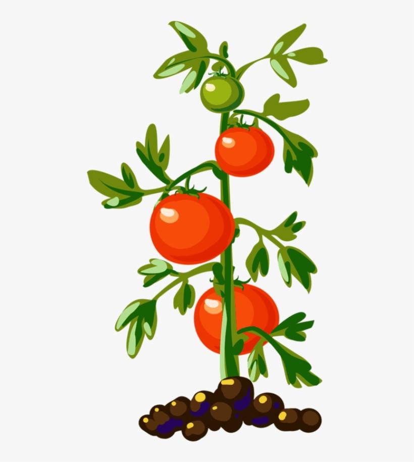 Tomato Plant Tomato Plants, Tomato Tree, Food Clipart, - Tomato Plant Png, transparent png #51052