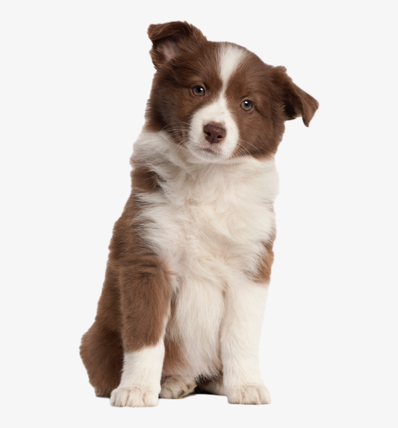 Puppy Png Transparent Image - Australian Shepherd No Background