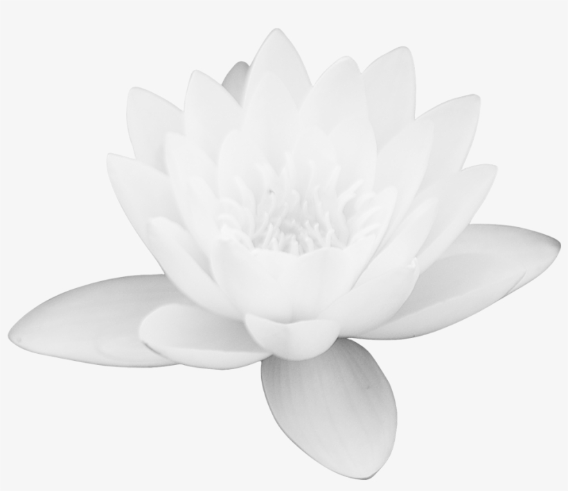 Lotus Flower Png Images Free Download Png Library White Lotus
