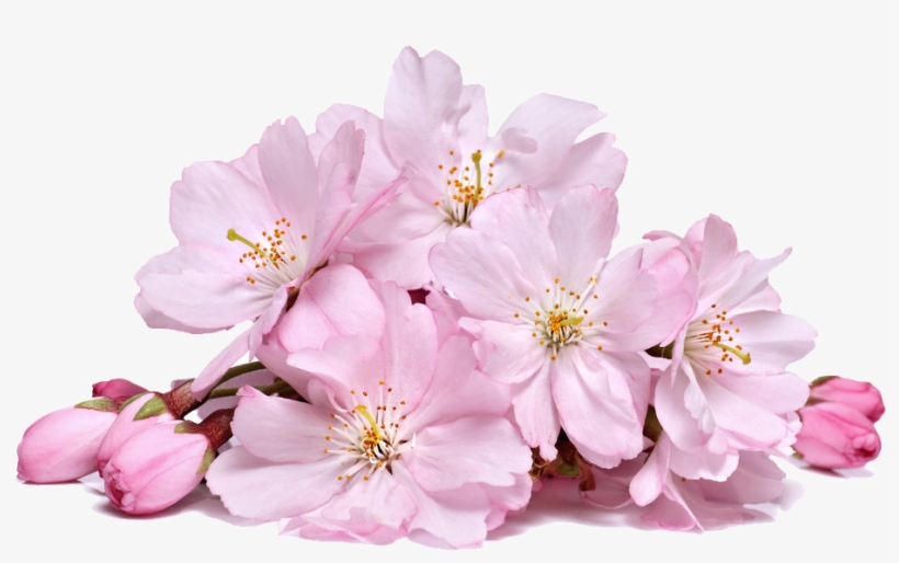 Cherry Blossom Flower Png Sakura Creative Transp Free - Cherry Blossom Flowers, transparent png #53795
