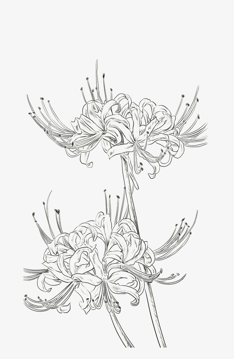 Red Spider Lily Png - Red Spider Lily Drawing, transparent png #54553