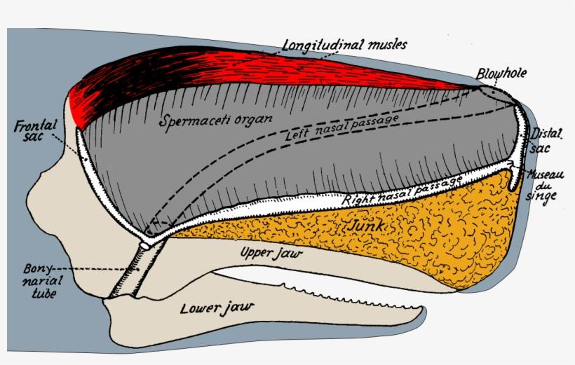 Sperm Whale Head Anatomy Sperm Whale Skull Anatomy Free