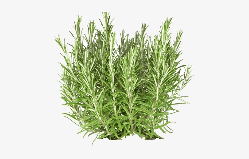 Rosemary Essential Oil - Rosemary Plant Cut Out, transparent png #520366