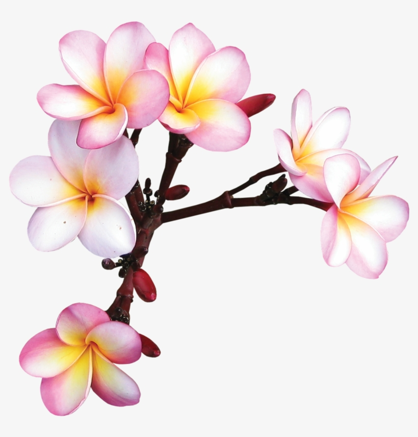 Фотки Exotic Flowers, Tropical Flowers, Colorful Flowers, - Frame Flower Kamboja Png, transparent png #542427