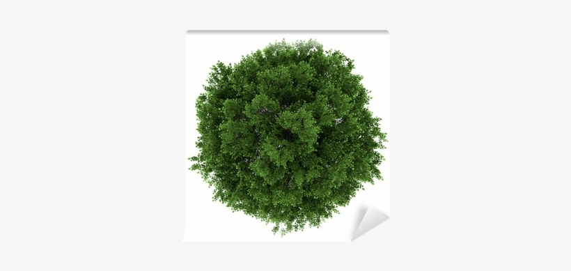 Top View Of Small-leaved Lime Tree Isolated On White - Tilia Cordata Top View, transparent png #543418