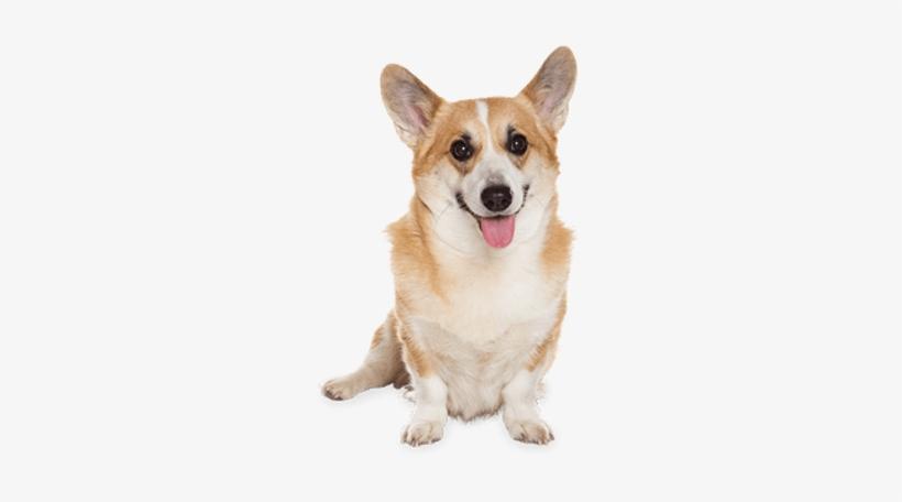 Corgi Dog Sitting - Dog Md Maximum Defense 23-44 Lb Dog Flea Tick Treatment, transparent png #546644