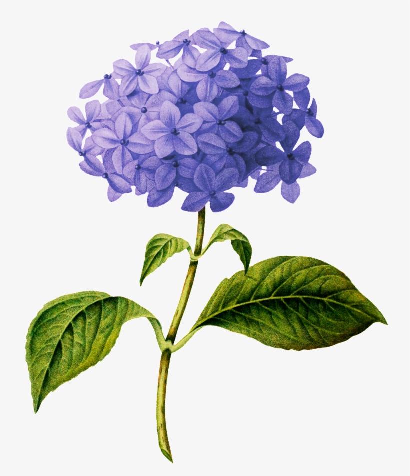 Beautiful Purple Flower Transparent - Hydrangea Botanical Drawing, transparent png #5447877