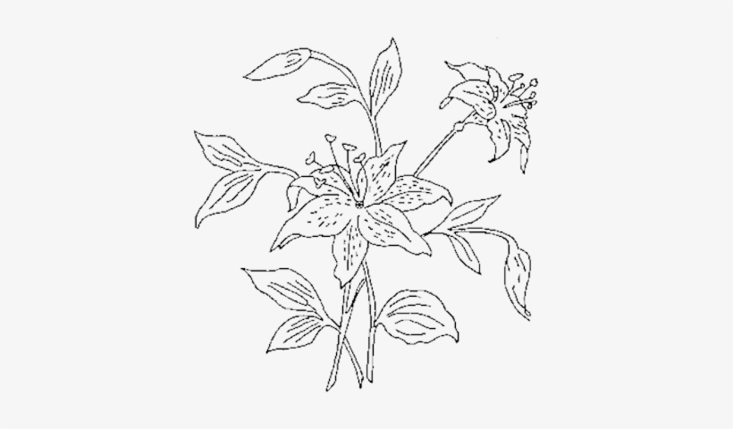 Flower Outline Png Tiger Lily Drawing Free Transparent Png