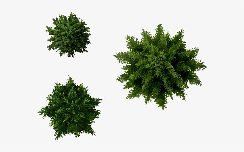 Landscape Designs, Plants, Furniture - Pine Tree Plan Png, transparent png #557386