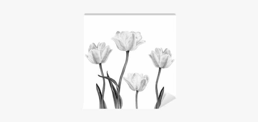 Watercolor Illustration Of A Beautiful White Tulip - Watercolor Painting, transparent png #559393
