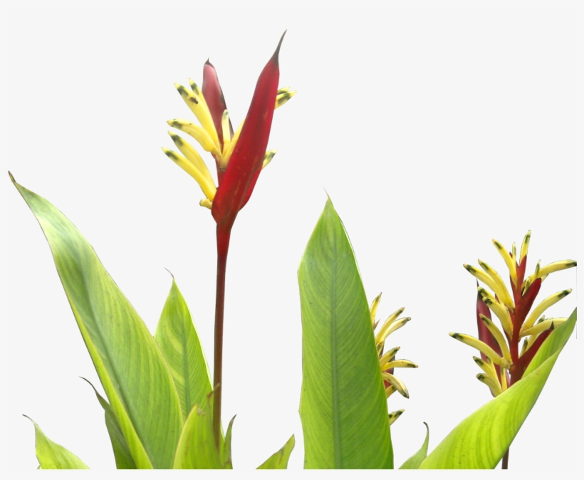 Heliconia Psittacorum - Tropical Plants Flower Png, transparent png #561045
