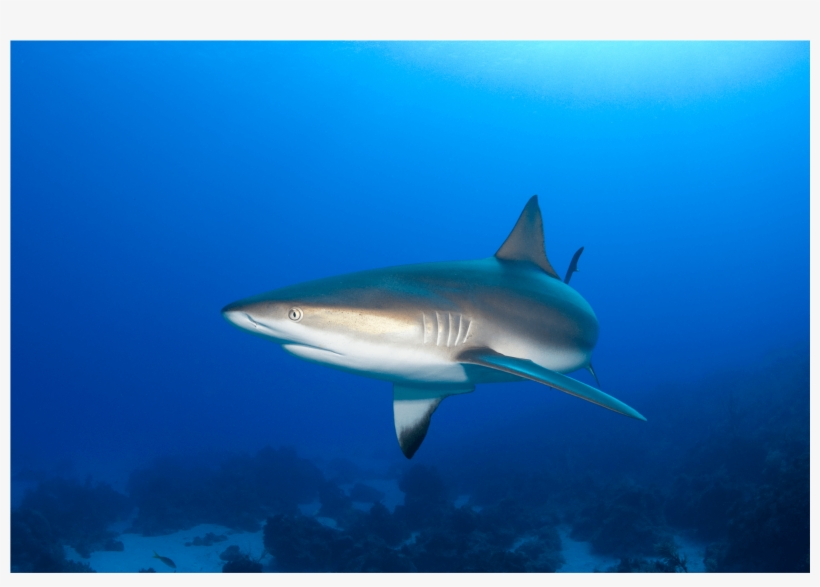 Weird Shark Pictures To Print Poster Species Watercolor - Caribbean Reef Shark, transparent png #585888